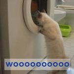 gatto incantato che fissa l'oblò della lavatrice